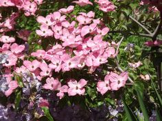 Cornus kousa 'Miss Satomi' - An outstanding large shrub or small deciduous tree with handsome, glossy dark green foliage that takes on glorious red and orange tones in autumn. But it is in summer that this plant really turns on the wow factor when it becomes smothered in rich rose pink flowers.