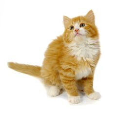Petplan pet insurance on the dangers of hyperthyroidism related diseases in cats
