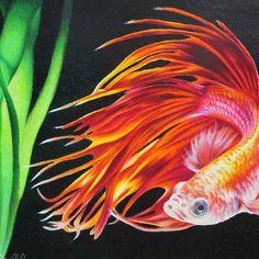 Betta fish fins like fire.
