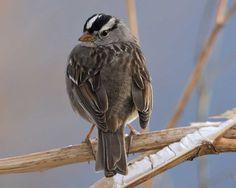 White-crowned Sparrow ~ photo © Dustin Huntington, VIREO