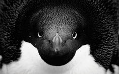 Adelie penguin close-up, Paulet Island, Antarctica
