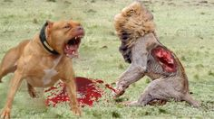 Strongest Dog vs Lion | Wild Dog vs Lion Real Fight | Anidis