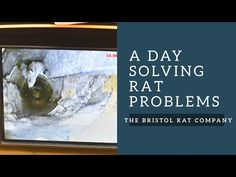 Never Have Rats Again! Solving Residential and Commercial Rat Problems In Bristol Permanently with advice and control of all your rodent problems, including rats, mice and squirrels
