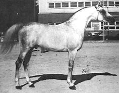 COMAR FLEYRAFF  (Azraff x Rafleyga, by Ibn Mirage) 1965 grey stallion bred by Garth Buchanan; sired 156 registered purebreds