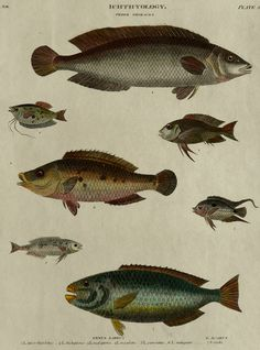 Ichthyology vintage print, fish