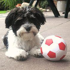 Havaneser Milo Mein Schaaaaatz! Ach, nee: Mein Ball !   #Hund: Milo / Rasse: #Havaneser      Mehr Fotos: https://magazin.dogs-2-love.com/foto/havaneser-milo/ Foto, Fussball, Hund, Hundesport