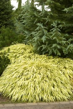 Golden Japanese Forest Grass -- Golden Japanese Forest Grass  Foliage emerges in spring, with slender stems holding bright yellow leaves with thin green stripes. Useful as a groundcover or in a pot. Partial sun.