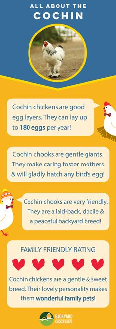 Cochin chickens are an awesome backyard breed! They are friendly and prefer to stay close to home. Check out their breed profile here, http://www.backyardchickencoops.com.au/breed-profile-cochin/ #loveyourchickens #infographic #cochinchickens