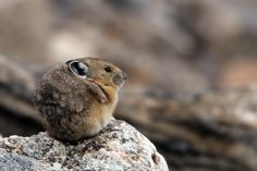 """Rocky Mountain Pika"" by John Tobias: A pika sunning itself in Rocky Mountain National Park."