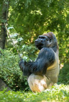 Great Gorilla Photo