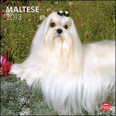 Maltese Wall Calendar: Though its precise origin is up for debate, the Maltese has strong, ancient ties to the Mediterranean, and it is certainly one of the oldest European breeds. The first Maltese exhibited in the United States was listed as a Maltese Lion Dog in 1877.  $14.99  http://calendars.com/Maltese-Dog/Maltese-2013-Wall-Calendar/prod201300004904/?categoryId=cat10131=cat10131#