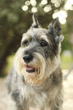 Gray Mini Schnauzer by garlicks on Schnauzer Breed, Mini Schnauzer Puppies, Miniature Schnauzer, Schnauzers, Animals And Pets, Cute Animals, Hachiko, Sleeping Puppies, Dog Pin