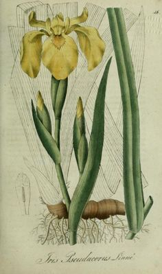 Iris Pseudacorus ( Yellow Iris). Plate from 'Flora Regni Borussici.' Published 1833 by Verlag von Ludwig Ochmigke