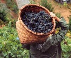 Cestas para la recogida Grape Picking, Oliver Wood, Wine Vineyards, In Vino Veritas, Wine Cheese, Italian Wine, Harvest Time, Wine Drinks, Wine Country
