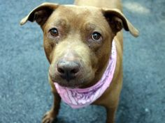 GONE 8/3/2015 --- SAFE 8-26-2015 by Second Chance Rescue --- SUPER URGENT Manhattan Center ANDREA – A1048072  ***SAFER:  AVERAGE HOME***  FEMALE, BROWN, PIT BULL / LABRADOR RETR, 8 yrs STRAY – STRAY WAIT, NO HOLD Reason STRAY Intake condition GERIATRIC Intake Date 08/16/2015
