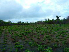 Hier verbouwd Joan pinda's die ze aan een Amerindian dorpje in de buurt verkoopt en die maken er pindabutter van #Guyana