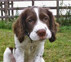 Springer spaniel puppy. I wish I knew Gypsy when she was this adorable