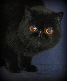 Black Exotic Cat. I want one! | Persian | Pinterest ...