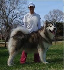 Image result for giant alaskan malamute