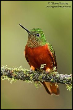 The Chestnut-breasted Coronet (Boissonneaua matthewsii) is a hummingbird found in humid montane Andean forests in Colombia, Ecuador, and Peru.
