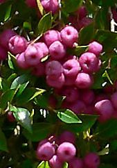 riberry, lillypilly