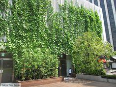 [F]緑のカーテン(グリーンカーテン)。地球にやさしいということで学校にあった人もいるのでは。どこまで伸ばすことができるのだろう。