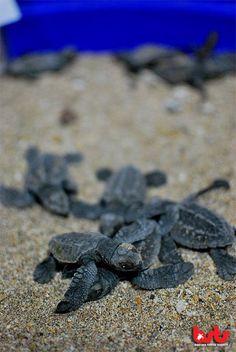 Olive Ridley hatchlings   DONATE NOW Your donation helps us protect sea turtles  http://goo.gl/hSQHIK  #seaturtles #bali #indonesia #instanusantara #idinstagram #baliseaturtle #iphonesia #nature #TagsForLikes #instagood #tweetgram #photooftheday #instamood #instagramhub #instadaily #beautiful #bestoftheday #webstagram #instagramers #wildlifecam