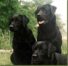 Chilbrook Labradors