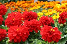 Red And Yellow Gardens | Plants, Gifts And More At Stonewall Garden Center