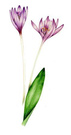 Botanical illustration of Autumn crocus showing parallel venation of leaves