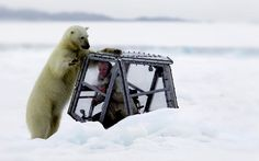 Wildlife cameraman Gordon Buchanan came face-to-face with a polar bear. The huge predator repeatedly attacked the safety perspex box he was sheltering in - the on-ice equivalent of a shark cage. Polaroid, Shark Cage, Bear Attack, Thing 1, Big Animals, Close Encounters, Killer Whales, Culture, Sport