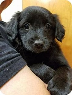 Ft. Lauderdale, FL - Terrier (Unknown Type, Small) Mix. Meet Blossom, a puppy for adoption. http://www.adoptapet.com/pet/17024043-ft-lauderdale-florida-terrier-unknown-type-small-mix