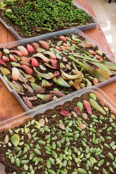Garten Succulent propagation from leaves and pups Propagate Succulents From Leaves, Growing Succulents, Succulent Gardening, Succulent Terrarium, Planting Flowers, Organic Gardening, Succulent Containers, Container Flowers, Container Plants