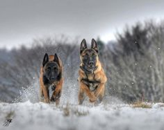 Belgian Malinois in Snow