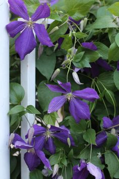 Clematis - maintenance free garden ideas #Flowers
