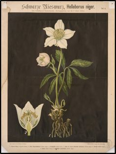 The poisonous plants in Germany flowers and roots of Helleborus niger