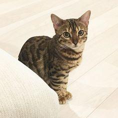 . . じー👀 . #bengal #bengalcat #bengalcats #cat #cats #love #cute #meow #catsofinstagram #instacat #cateye #animal #instagood #🐱 #猫 #ねこ #ネコ #子猫 #にゃんこ #にゃんすたぐらむ #ねこすたぐらむ #にゃんだふるらいふ #ねこのいる生活 #ベンガル #愛猫 #ベンガルキャット #みんねこ #ねこ部 #猫好きさんと繋がりたい #親バカ部
