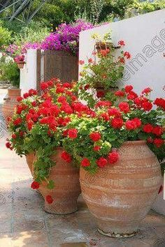 Scarlet geraniums in huge terracotta pots and dazzling pink bougainvillea Scharlachrote Geranien in Container Plants, Container Gardening, Container Flowers, Succulent Containers, Gardening Vegetables, Growing Vegetables, Beautiful Gardens, Beautiful Flowers, Red Geraniums