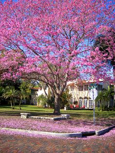 A jacaranda tree on Coffee Pot Bayou, St Petersburg, FL