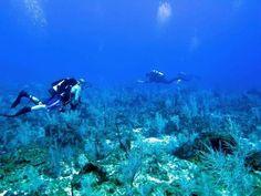 Elkhorn coral in Navassa Island.