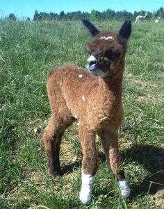 Ever think of owning your own alpaca? Go to: alpacafarmgirl. Katy is amazing.