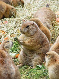 Prairie dogs, a type of ground squirrel