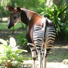 Virunga National Park: Home to the elusive  Okapi. #TOMSAnimalInitiative Learn more: http://toms.sh/1hKj23U