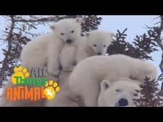 POLAR BEAR | Animals for children. Kids videos. Kindergarten | Preschool learning - YouTube
