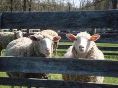 Sheep & wool Day
