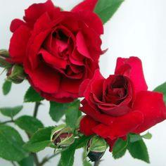 Rose 'Prince's Trust' (Climbing) - Cottage Garden Plants - Van Meuwen
