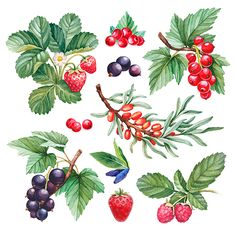 Find Watercolor Illustrations Berries stock images in HD and millions of other royalty-free stock photos, illustrations and vectors in the Shutterstock collection. Watercolor Fruit, Watercolor Pattern, Watercolor Paintings, Botanical Illustration, Botanical Prints, Watercolor Illustration, Plant Painting, China Painting, Arte Sketchbook