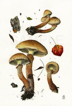 http://www.pelcor.com/mushrooms/PholiotaSquarrosa.html