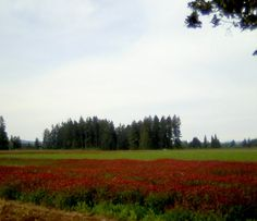 Hillsboro Crimson Clovir fields