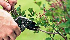 Poda de arbustos y árboles - Ver más | http://riegoyjardines.es/riego-y-jardines/poda-de-arbustos-y-arboles/ | #CorteDeFragmentoDeRama, #CorteDeRamaPrincipal, #CorteDeRamaSecundaria, #Poda, #PodaDeArboles, #PodaDeArbustos, #PuntoNaturalDePoda, #Yema